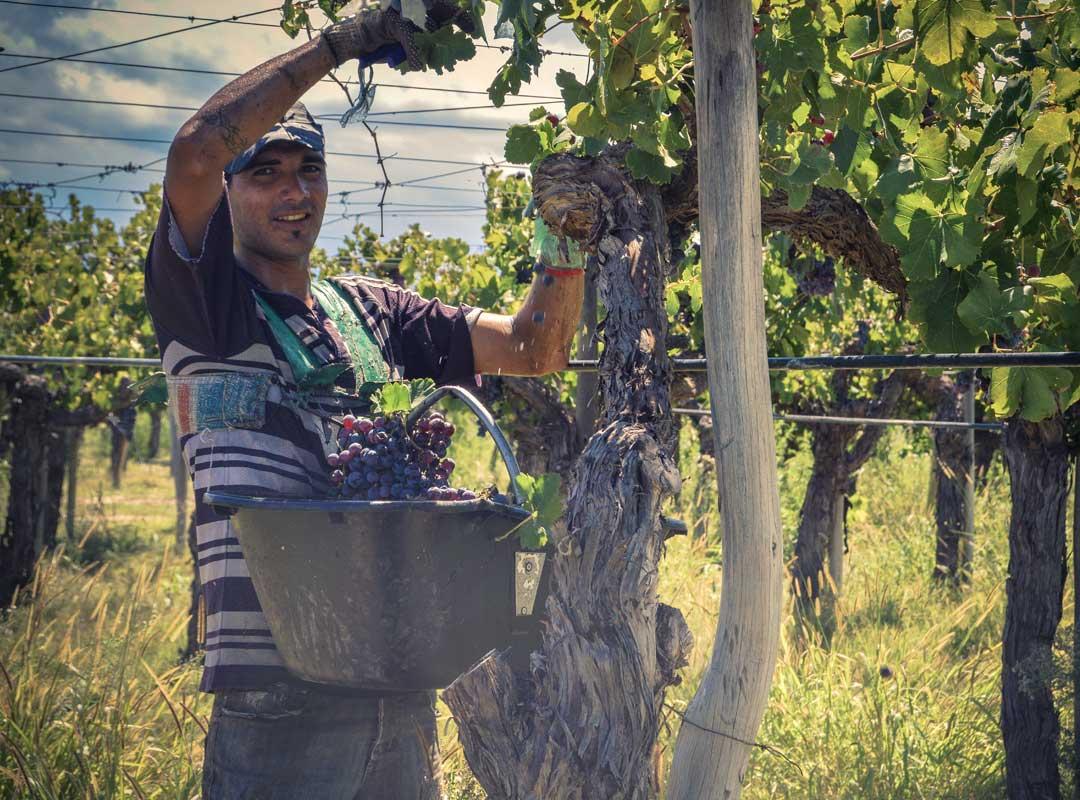plockar vindruvor