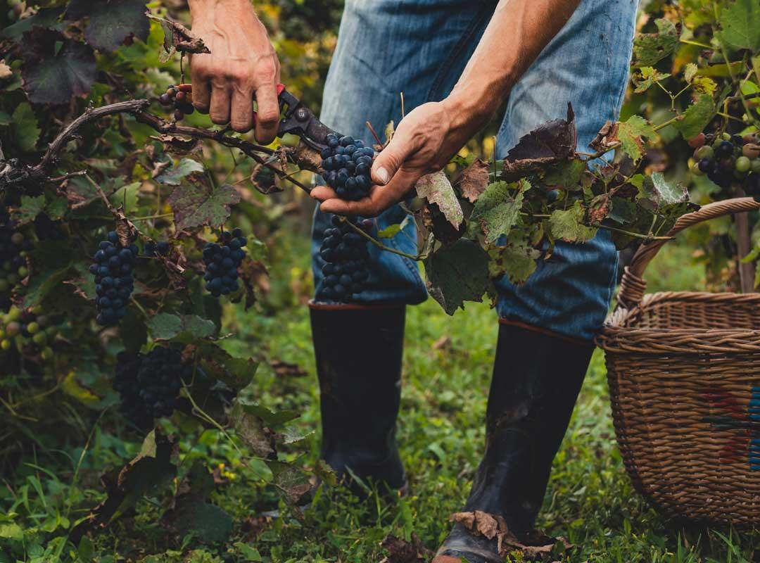 hållbarhet och vinodling